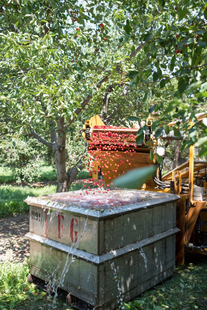 Montmorency tart cherries being dumped into water, for tart cherry spritzer